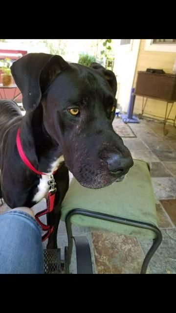 Great Dane dog for Adoption in Bullard, TX. ADN-695364 on PuppyFinder.com Gender: Male. Age: Adult