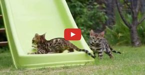 Bengal Kittens are Having Lots of Fun on a Kids Slide