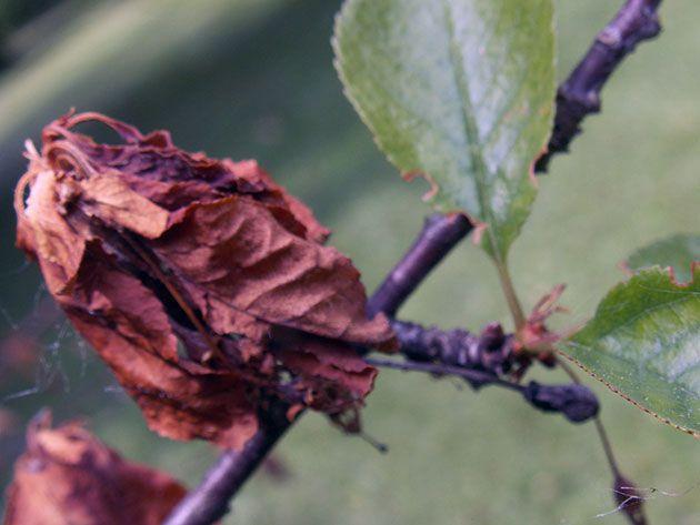 У вишни сохнут листья