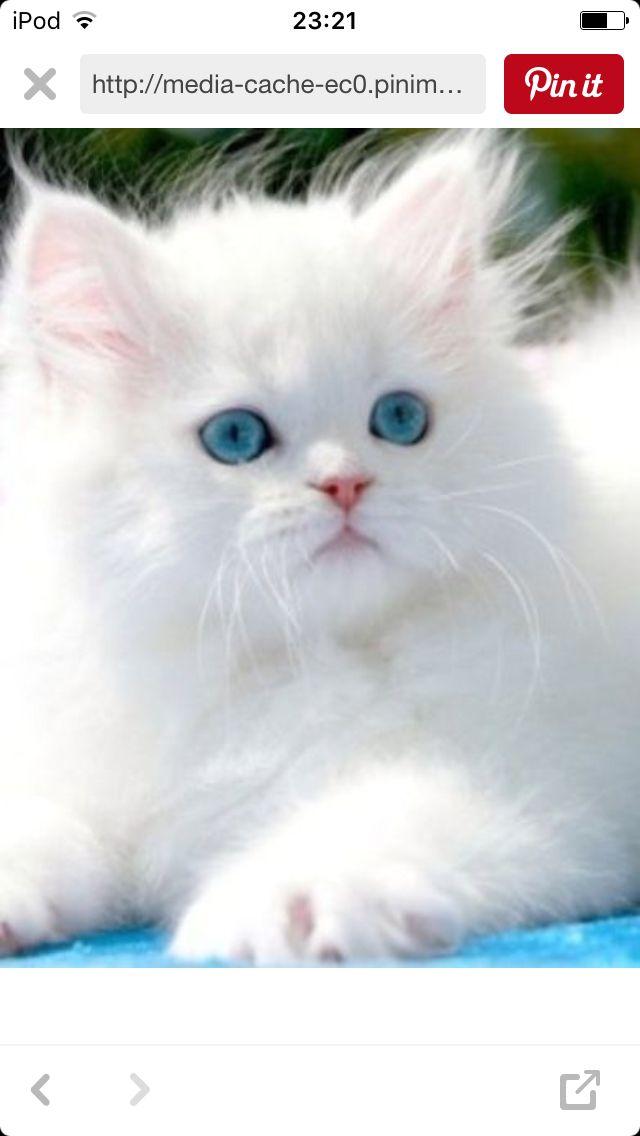Ojos relucientes, este gato de tan solo  9 meses es un gato persa.  Unos gatos que reciben su nombre por la ciudad de Persia.  Pueden costar más de 500 euros