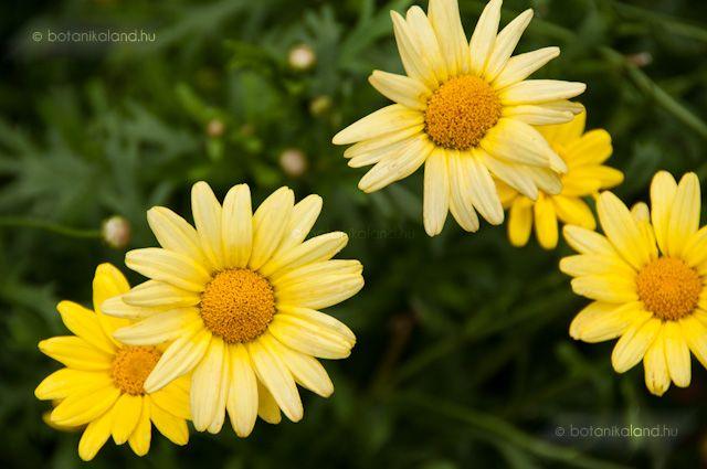 Cserjés Margaréta (Argyranthemum frutescens) gondozása, szaporítása