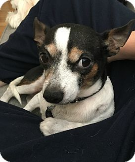 Oak Park, IL - Rat Terrier/Chihuahua Mix. Meet Sammy, a dog for adoption. http://www.adoptapet.com/pet/16364603-oak-park-illinois-rat-terrier-mix