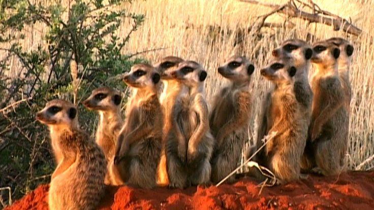 World's Deadliest - Meerkats' Mob Rule