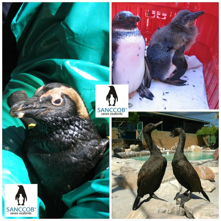 Oiled and cleaned Penguins and birds at SANCCOB