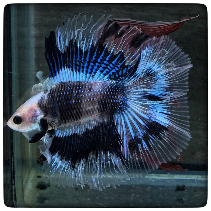 17 best images about fighting fish on pinterest auction for Female koi fish