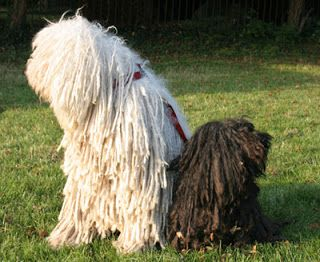 Saved by dogs: The Hungarian Komondor and Puli