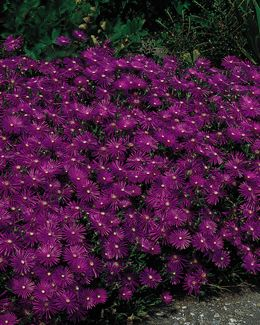"Ice Plant, Purple, Delosperma cooperi #5788 www.dutchgardens.com Light Requirement:	full sun Special Qualities:	drought resistant, ground cover Plant Height:	3"" Spacing:	12-15"" Hardy In:	5-9"