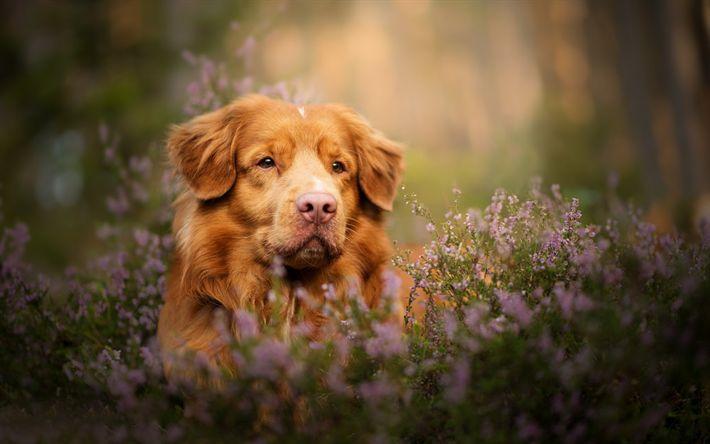 Descargar fondos de pantalla perro, Nueva Escocia retriever, mascotas, hierba verde, marrón del perro