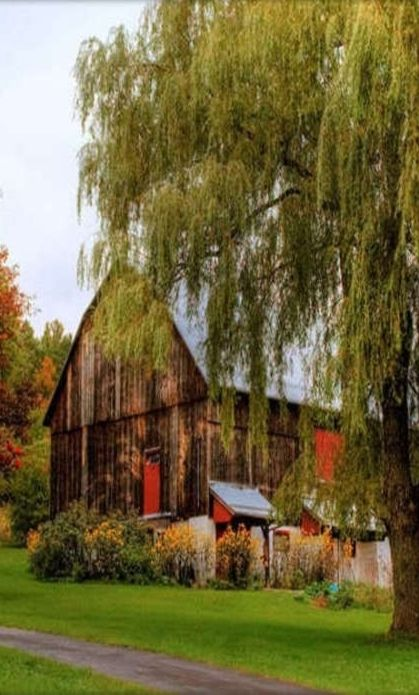 Barn by willow tree