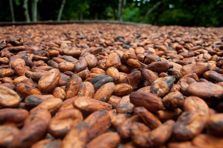 UTZ Certified Cacao Beans for Kwatta