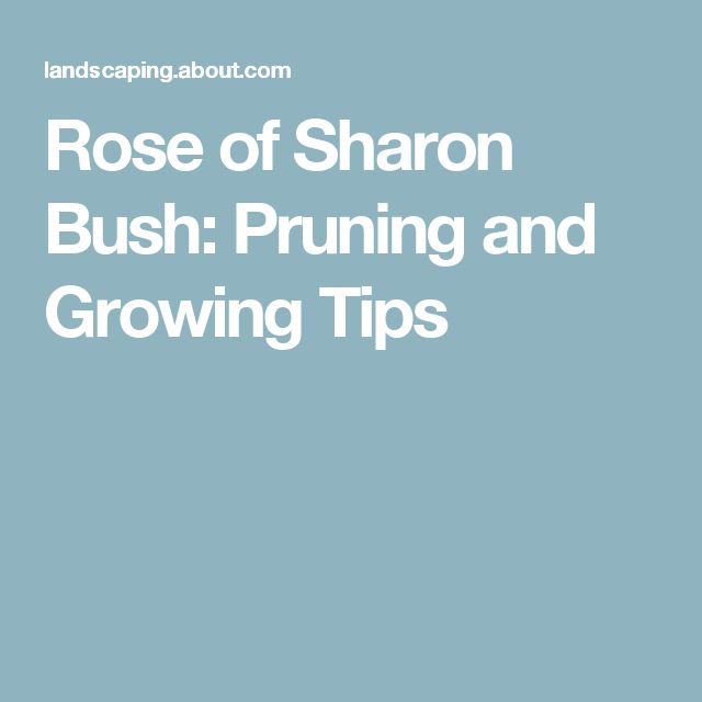Rose of Sharon Bush: Pruning and Growing Tips
