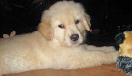 """Puppy Breed: Golden Retriever    My name is Max Catania and I was born in Newfoundland, New Jersey. My mom and I live in Bucks County, Pennsylvania. I love Milkbones, stuffing-free toys, bandanas, long walks, dog parks and swimming. I'm scared of thunderstorms and black cats. My favorite """"people food"""" is bananas, but I don't really like strawberries. I love to grab underwear, bras and socks out of the laundry basket. I don't like rain or snow, and even though I am very well potty trained, I sometimes have accidents when the weather isn't nice. I love snuggling under blankets with my mom. I've been on vacation to Rehoboth Beach, Delaware and Sea Isle City, New Jersey. I like spending time with my grandpa on the weekends when my mom is at work. I also really like spending time with my mom's boyfriend.Max, Golden Retrievers, Puppies Photos, Puppies Breeds, Daily Puppies, Puppy'S, Heart Puppies, Golden Retriever Puppies"""
