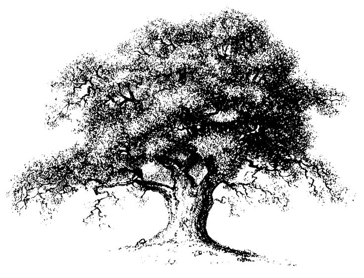 Quercus Virginiana Drawing