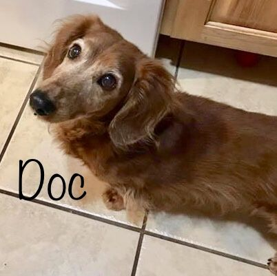 Dachshund dog for Adoption in Los Angeles, CA. ADN718947