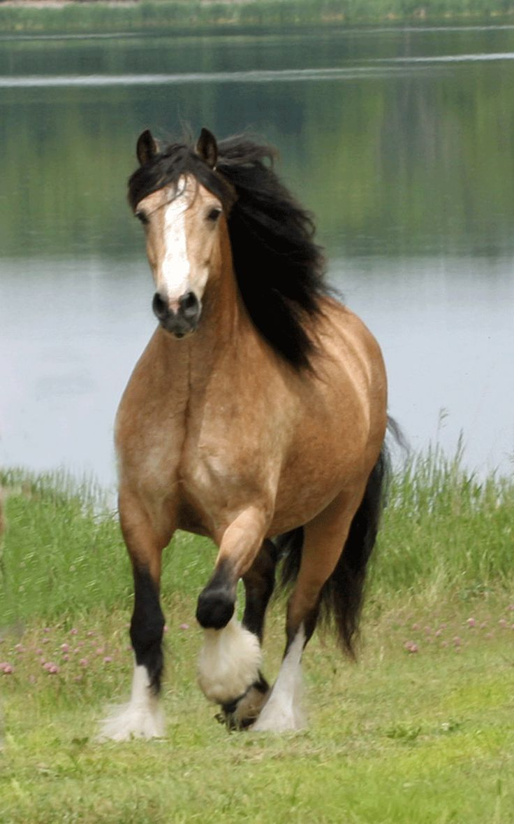 Google Image Result for http://www.lakeridgegypsy.com/images/gypsy-vanner--cherakee.gif