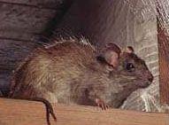 Roof Rats   Roof Rat