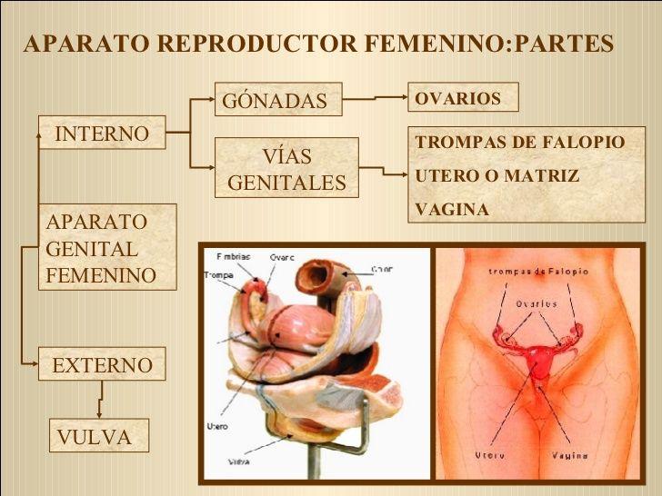 Aparato Reproductor Femenino Partes Gonadas Vias Genitales Interno Externo O Aparato Reproductor Femenino Aparato Genital Femenino Genitales Externos Femeninos