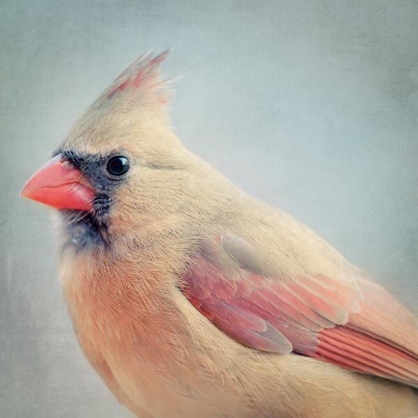 Female Cardinal Bird Photography Print, Animal Photography, Cardinal Art Portrait, Bird Art Print, Animal Wall Art, Female Cardinal No. 4 by RockyTopPrintShop on Etsy https://www.etsy.com/listing/89979810/female-cardinal-bird-photography-print