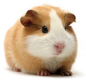 porcellino-india pelo corto fulvo, fulvo /bianco, femae