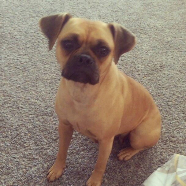 Meet my Poxer Remi! Boxer /pug mix. Full grown 30 lbs and ... Beagle Boxer Mix Full Grown