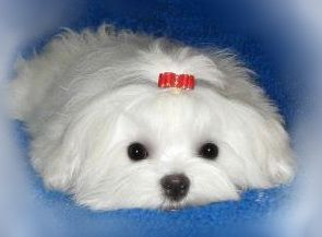 Maltese puppy. I would not keep long hair because its so hard to manage but this is an adorable little mop dog.