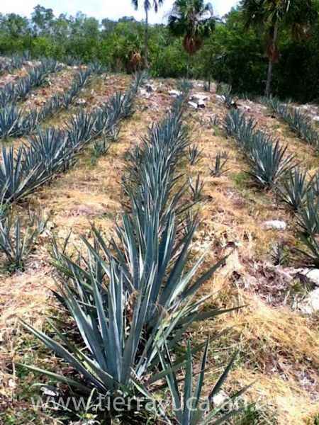 Make Your Own Tequila!  Agave Plantation + Cenote