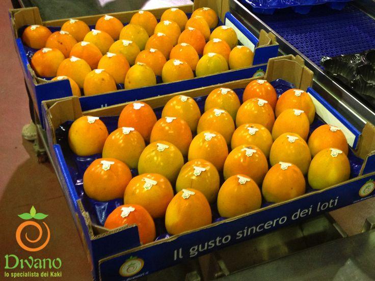 Our italian Rojo brillante kaki variety ready for delivering.  I nostri kaki Rojo brillante pronti per la consegna. Info:www.divanosrl.it  Tel +39 0823 604052 #kakidivano #soledautunno