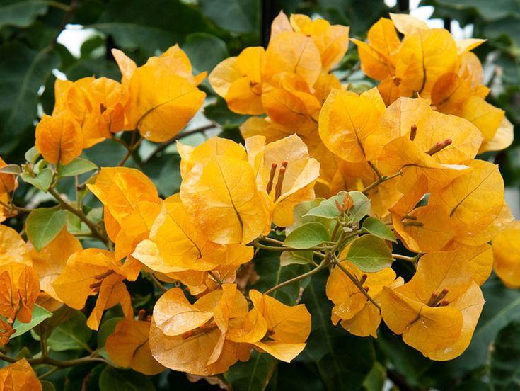 Бугенвиллея гибридная - Bougainvillea buttiana, бугенвиллея фото
