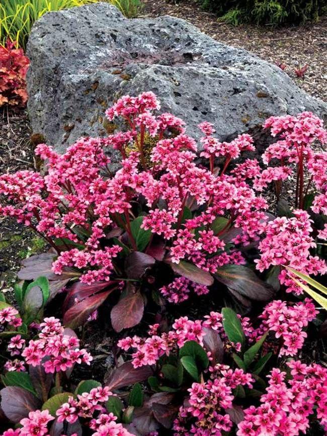 Bergenia Pink Dragonfly