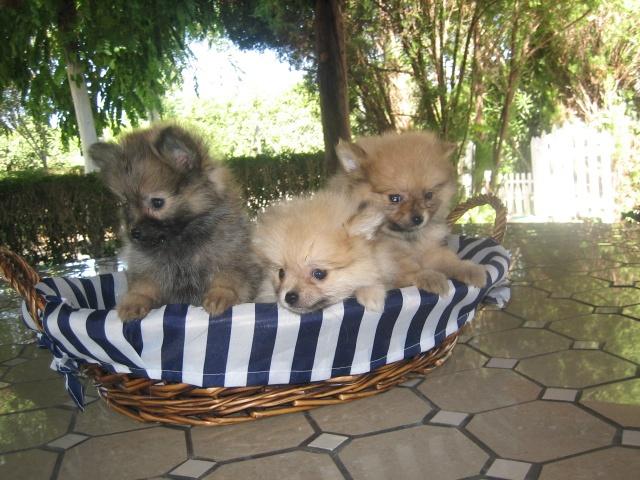 Pomeranias en venta - Criadero Cantillana