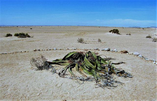 Welwitschia (Namibië)