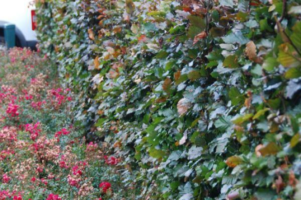Hêtre pourpre    Le Fagus sylvatica 'Atropurpurea' (Hêtre pourpre), est en grande partie la même chose que la version verte (le Hêtre commun). La différence est dans la couleur de son feuillage.