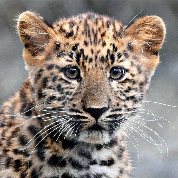 Котенок амурского леопарда.