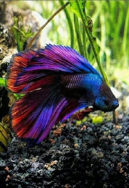 2119 best bettas images on pinterest fish aquariums for How long can a betta fish live