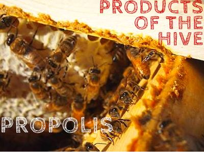 Bee propolis has been used for centuries for healing, it invigorates the immune system and is highly effective at fighting infection and viruses. It has proven remarkably successful again influenza viruses, when taken before the virus takes hold. But what is propolis and how it is made?