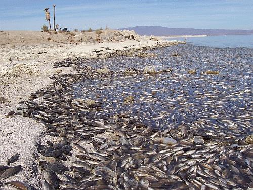 Salton sea fish die off ebikes in the mountains for Salton sea fishing
