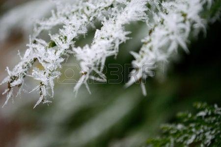 Frosty arbor vitae.