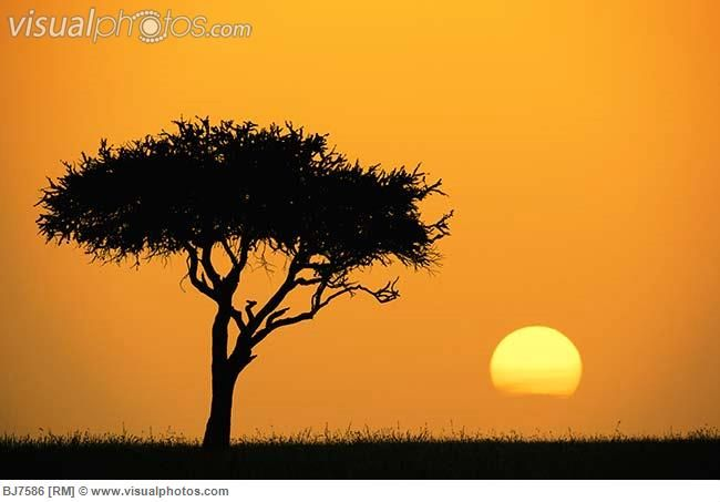 african tree silhouette | Acacia Tree at Sunset