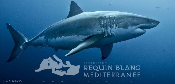 Requin blanc méditerranée   EXPÉDITION GRAND REQUIN BLANC MÉDITERRANÉE