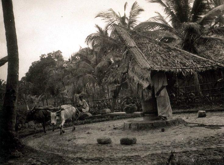 Making coconut oil 1908