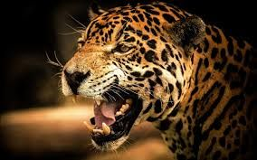 Download Best Hd Wallpapers For Desktop Mobiles Tablets In High Quality Hd Widescreen 4k Ultra Hd 5k 8k U Cheetah Pictures Cheetah Background Cheetah Wallpaper