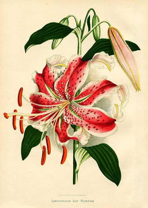 05 Vintage Botanical Lily Illustration, Printable Antique Image