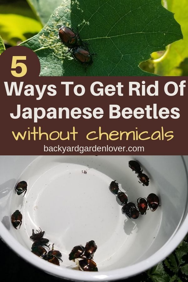 How To Get Rid Of Japanese Beetles And Save Your Garden Japanese Beetles Getting Rid Of Japanese Beetles Beetle