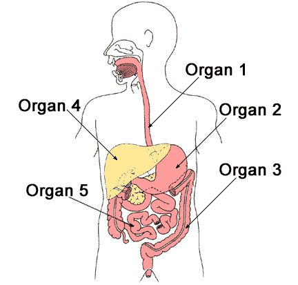 Human Body, Digestive System, Science worksheet for Grade 5 at myTestBook.com