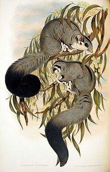 John Gould, F.R.S., Mammals of Australia, Vol. I Plate 24, London, 1863