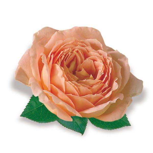 Róża wielkokwiatowa pomarańczowa - Rosa 'Dream Orange'