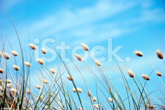 Cotton Tail Grass Heads royalty-free stock photo