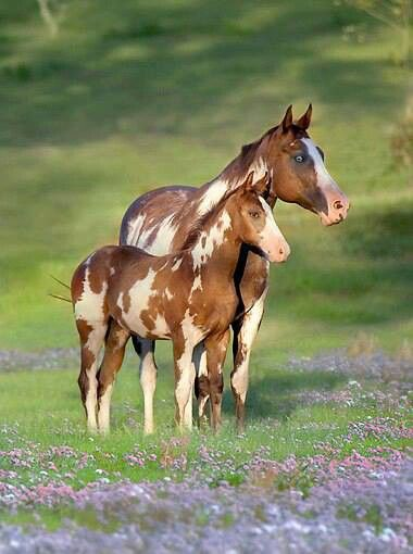 Gorgeous Wild Chestnut Paint Mustang Mare and Foal.