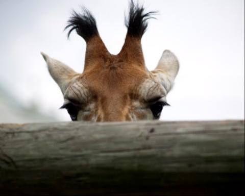 If Wilson from Home Improvement was a giraffe ♡