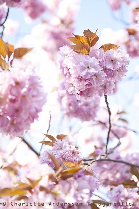 Körsbärsblom / Cherry blossom